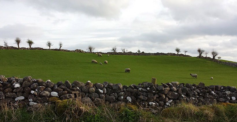 Sheep and windswept hawthorn trees in Galway